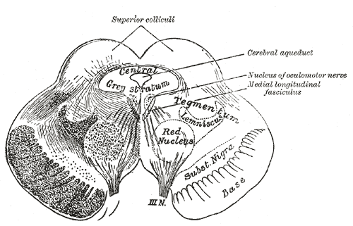 Human Substantia Nigra - From Gray's Anatomy 20th Edition