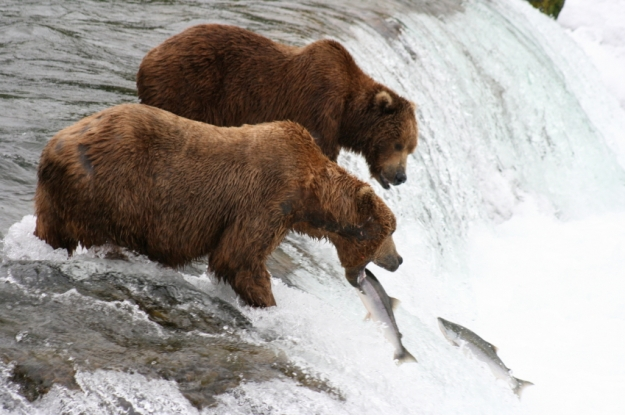 One salmon tries to leap over a large waterfall while the other jumps into a hungry bear's mouth