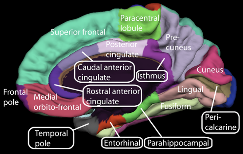 Brodmann Areas – Part 3: Area 25. The Anterior Cingulate Cortex – A ...