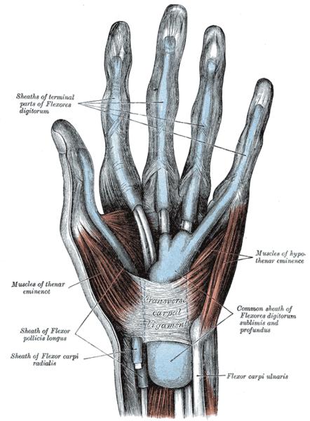 Hand tendons anatomy