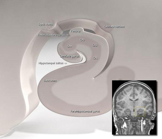 Stylised Diagram of the Hippocampus - Frank Gaillard