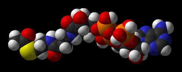 1024px-Acetyl-CoA-3D-vdW