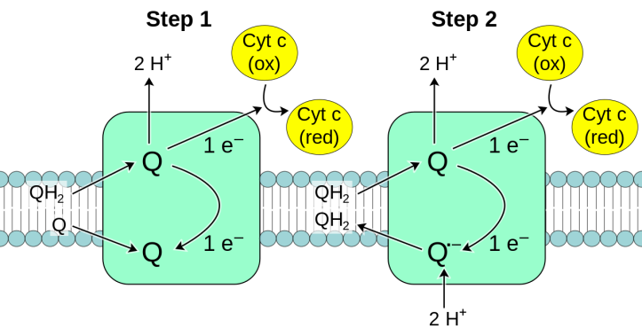 Complex_III_reaction